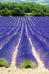 Panel Szklany lavender field, Provence, France