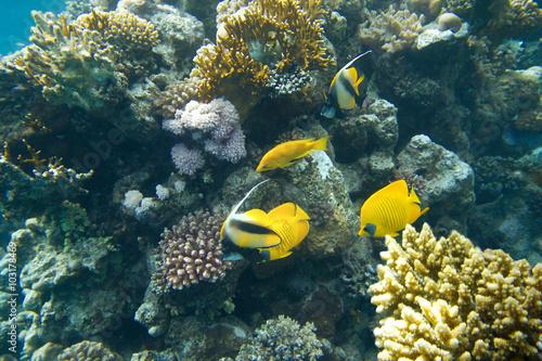 kolonia koralowa na rafie