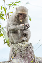 Formosan Macaques Are Eating Peanut