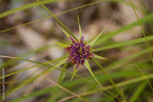 fiore di Astragalo (Astragalus sp.) Canvas Print
