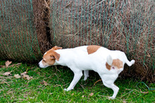 Jack Russell Terrier Peeing On Hay Bale On A Farm