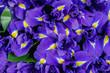 Leinwandbild Motiv texture close-up of iris flowers