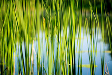 Green Reed Abstract Background