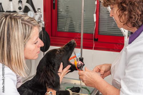 Foto  Intubation eines Hundes für die Vollnarkose.