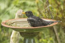 Blackbird, Turdus Merula, Male...