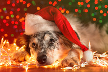 Border Collie Australian Shepherd Mix Dog Lying Down On White Chirstmas Lights With Colorful Bokeh Sparkling Lights In Background Looking Hopeful Wishful Believing Celebratory Concerned