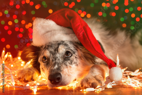 Foto op Plexiglas Kerstmis Border collie Australian shepherd mix dog lying down on white chirstmas lights with colorful bokeh sparkling lights in background looking hopeful wishful believing celebratory concerned