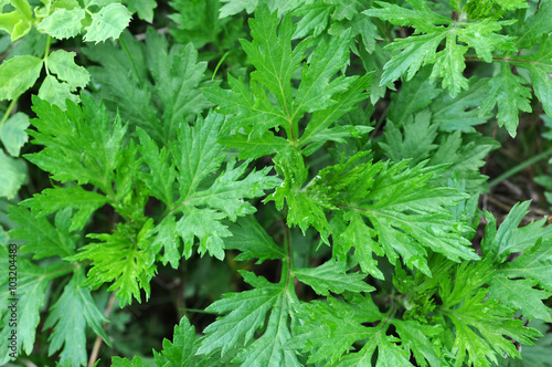 Mugwort's variegated leaves (Artemisia vulgare) Wallpaper Mural