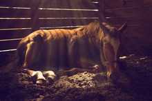 Young Weanling Horse Lying Down In Stall With Sunbeams Shining Looking Tired Exhausted Sleepy Sad Sick Depressed Alone Relaxed Magical Emotional