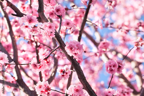 Tuinposter Kersen Blossoming cherry tree