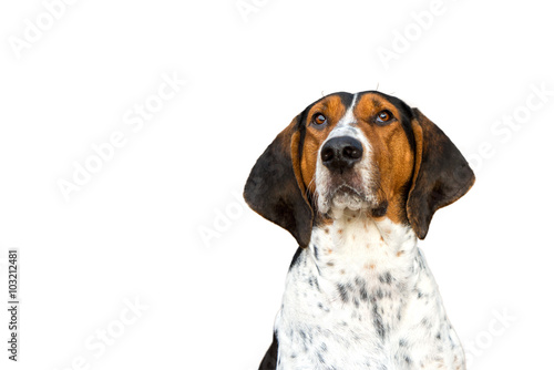 Photo  Treeing Walker Coonhound hound dog looking expectantly begging waiting watching