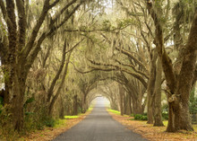 Lines Of Old Live Oak Trees Wi...