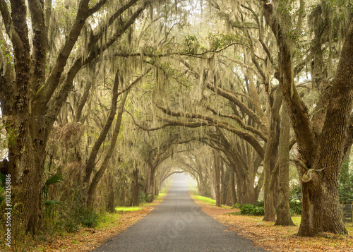 Lines of old live oak trees with spanish moss hanging down on a scenic southern фототапет