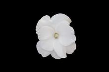 Impatiens Walleriana White Flower.