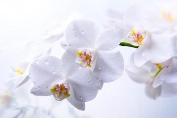 Fototapeta Ramo de orquídea
