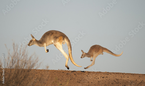 Foto op Canvas Kangoeroe kangaroos in Sturt National Park,New South Wales, Australia