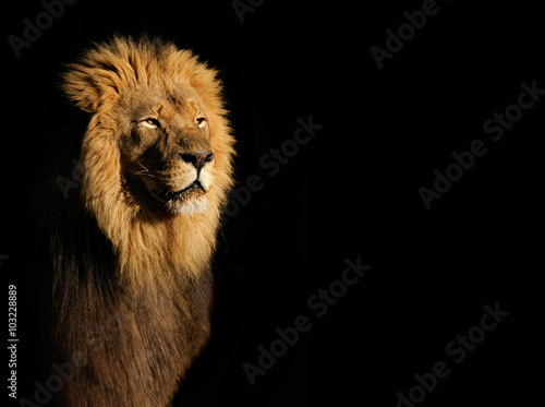 Poster Afrika Portrait of a big male African lion (Panthera leo) against a black background, South Africa.