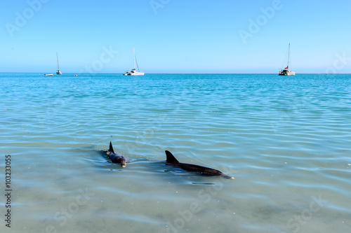 Photo  Monkey Mia Dolphins Near the Shore in Western Australia