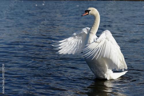 Fotobehang Zwaan Mute Swan, cygnus olor