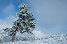 Cedar Covered With Snow In Win...