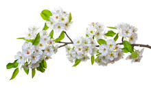 Blossoms Isolated On White