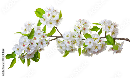 Obraz  blossoms isolated on white - fototapety do salonu