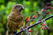 New Zealand Kea Gazing Into Th...