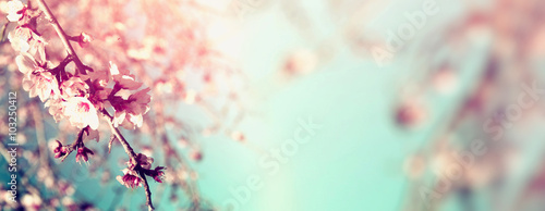 Fotografie, Obraz  Abstract blurred website banner background of of spring white cherry blossoms tree