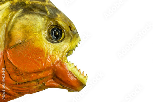 Fototapeta piranha fish on white background