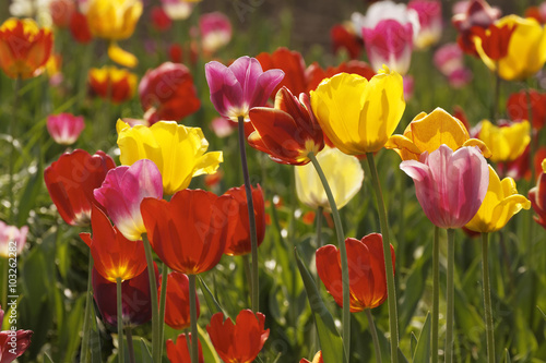Poster Printemps Tulip field in Lower Saxony, Germany