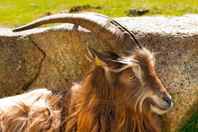 Mountain Male Goat - Italian Alps / Brown And White Billy Goat With Long Fur And Horns In The Shade Of A Rock. Italian Alps