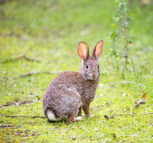 An Alert Cottontail Rabbit (Sy...