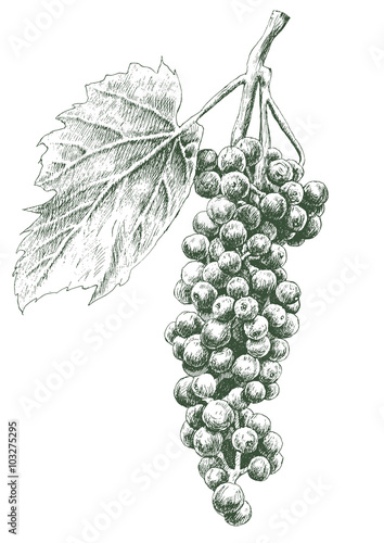 Illustration with grapes. Fototapete