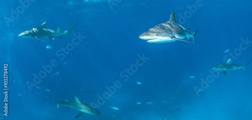 Staande foto Dolfijnen Caribbean reef shark