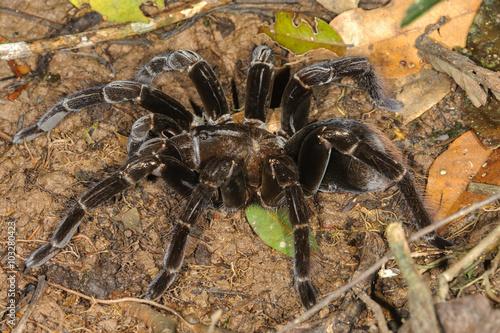 Giant Tarantula Pamphobeteus Sp In Tambopata National