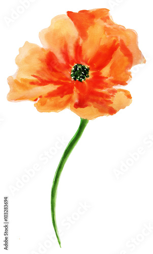 Orange Poppy Watercolor Painting Isolated On White Background
