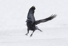 Crow, Corvus Corone, Flying Fr...