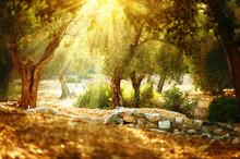 Olive Trees Garden. Mediterran...