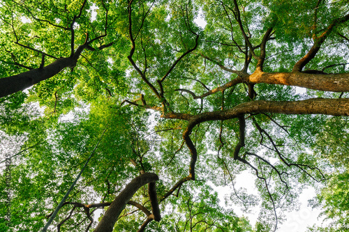 Green natural background of Camphor trees in summer #103294225