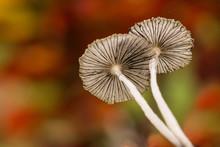 Parasol Mushrooms Coprinus Pli...