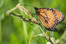La Mariposa Monarca Sube Por La Rama.