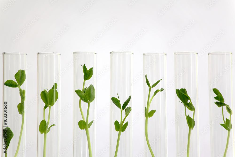 Fototapety, obrazy: 沢山の試験管の中で培養される植物イメージ