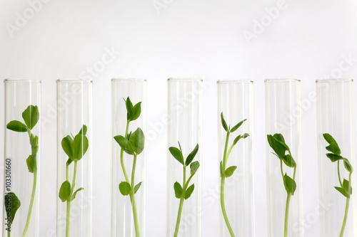 Foto  Ein Pflanzenbild, das in vielen Reagenzgläsern kultiviert wurde
