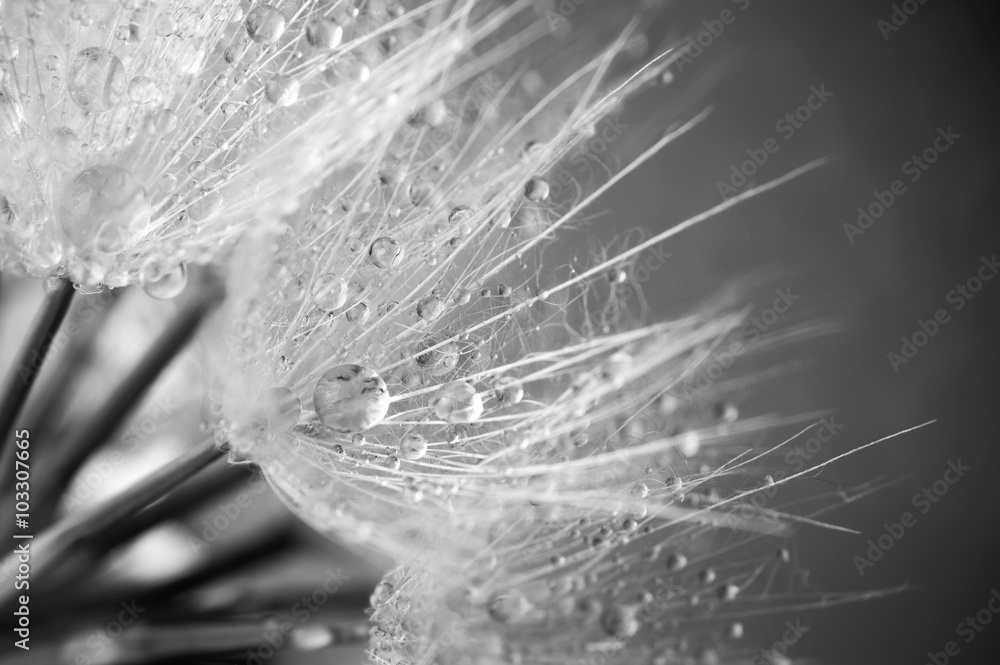 Fototapety, obrazy: Close-up of dandelion with drops