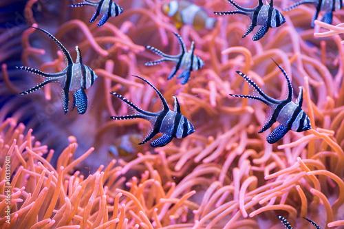 male-niebieskie-ryby-na-tle-ukwialow