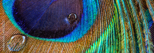Deurstickers Pauw Peacock feather closeup, macro, letter box format