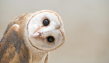 Fototapeta Animals - common barn owl ( Tyto albahead ) close up