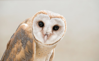 common barn owl ( Tyto albahead ) close up