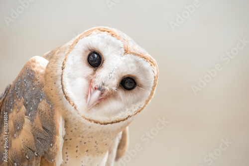 Keuken foto achterwand Uil common barn owl ( Tyto albahead ) close up
