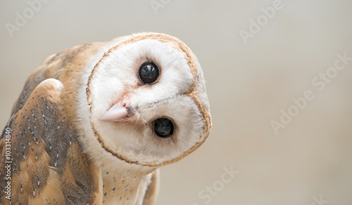 Poster Bird common barn owl ( Tyto albahead ) close up